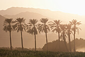 'Silhouette Of Palm Trees And A Mountain Range In The Distance With The Orange Glow Of Sunrise; Palm Springs, California, United States of America'