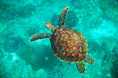 'A Sea Turtle Swims Underwater In The Apo Island Marine Reserve And Fish Sanctuary; Apo Island, Negros Oriental, Philippines'