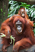 'A Mother Orangutan Eats Vegetables With Her Baby At The Singapore Zoo; Singapore'