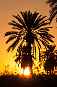 'Silhouette Of Palm Tree In The Desert At Sunset With Sun Burst And Orange Glow; Palm Springs, California, United States of America'