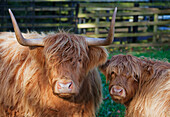 'Two Yak In A Fenced Area; Scottish Borders, Scotland'