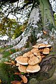 'Mushrooms Growing At The Base Of A Tree; Scottish Borders, Scotland'