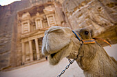 'A Camel Stands In Front Of The Treasury In The Nabatean City; Petra, Jordan'