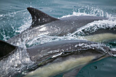 Wild Dolphins Off Point Conception California