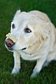 Tan Coloured Mixed Breed Dog Cowering, Canada, Alberta
