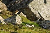 A Pika Sits Atop A Rock In An Alpine Rocky Area. Canada, Alberta, Jasper National Park, Skyline Trail