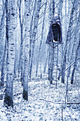 Grove Of Poplar Trees With Hunting Blind In Tree, Duotone, Alberta