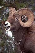 Bighorn Sheep, Maligne Canyon, Jasper National Park, Alberta, Canada