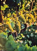 White Grapes On The Vine, In Vineyard, Napa Valley, California