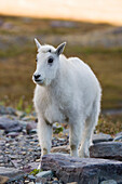 Mountain Goat Kid Near Logan Pass, Glacier National Park Montana, Usa