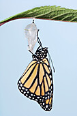 Monarch Butterfly Life Cycle, Emerging From Cocoon.