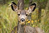 Mule Deer (Odocoileus Hemionus) Near Maligne Lake, Jasper National Park, Alberta, Canada