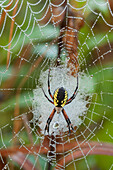 'Writing Spider (Argiope) On A Web Covered In Dew; Sault St. Marie, Ontario, Canada'