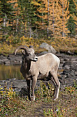 'Rocky Mountain Bighorn Sheep (Ovis Canadensis) Standing On A Trail In A Mountain Meadow With Pond And Golden Larch Trees In The Fall; Alberta, Canada'