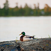 'Duck Sitting On A Rock At The Water's Edge; Lake Of The Woods, Ontario, Canada'