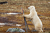 'A Polar Bear (Ursus Maritimus) Stands On It's Hind Legs Leaning Against A Sign; Churchill, Manitoba, Canada'