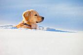 'A Dog Buried In Snow; Spruce Grove, Alberta, Canada'