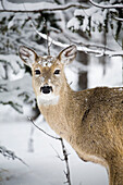 'Close Up Of A Young Deer In A Snow Covered Forest; Kananaskis Country, Alberta, Canada'