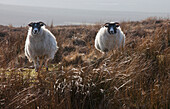 'Two Sheep Standing In A Field Of Tall Grass; Northumberland, England'