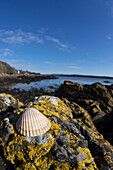 'A Seashell Sits On A Rock Covered With Lichen At The Water's Edge; Dumfries, Scotland'
