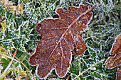 'A Frozen Red Leaf Laying On Frosty Grass; Gatehouse Of Fleet, Dumfries, Scotland'