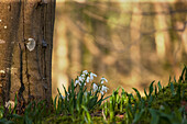 'Snowdrops (Galanthus) Blossoming At The Base Of A Tree; Gatehouse Of Fleet, Dumfries, Scotland'