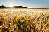 'Wheat Field At Sunset; Thunder Bay, Ontario, Canada'