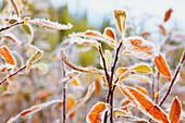 'Frost on autumn coloured foliage;Mount hood oregon united states of america'