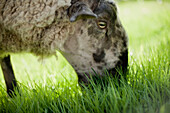 'Sheep grazing in the grass;Metchosin british columbia canada'