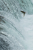 'Sockeye salmon attempting to jump the falls at brooks camp in katmai national park;Alaska united states of america'
