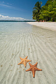 'Starfish in the shallow water along the beach;Bocas del toro panama'