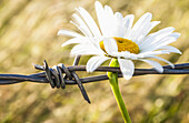 'A daisy pinned to a barbed wire fence on a farm;British columbia canada'