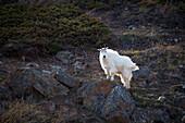 'Mountain goat (oreamnus americanus);Carcross yukon canada'