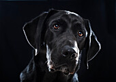 'Portrait of a black labrador on a black background;Tarifa cadiz andalusia spain'