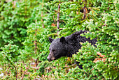 'A wild black bear forages in the forest on a rainy day;Whistler british columbia canada'