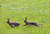 'Two rabbits playing in the grass;Northumberland england'