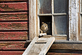 'Close up of cat looking out of a broken window of a rustic wooden barn;Alberta canada'