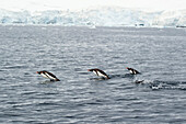 'Gentoo penguins (pygoscelis papua) in the water;Antarctica'