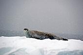'Seal on an iceberg in a snowfall;Antarctica'