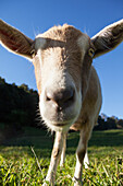 'Goat;Murwillumba new south wales australia'