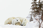 'Polar bear (ursus maritimus) cub rests on her mother's legs at wapusk national park;Manitoba canada'