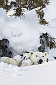 'Polar bear (ursus maritimus) sow and three cubs outside their den at wapusk national park;Manitoba canada'