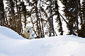 'Polar bear (ursus maritimus) sow and cut stare at the camera at wapusk national park;Manitoba canada'