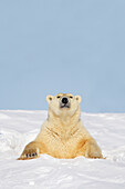 'Polar bear (ursus maritimus) sticking it's head and chest out of a den at wapusk national park;Manitoba canada'