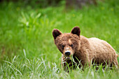 'Grizzly bear (ursus arctos horribilis) cub with dangerous expression eating grass at the khutzeymateen grizzly bear sanctuary near prince rupert;British columbia canada'
