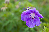 'Water drops on a purple flower;Northumberland england'