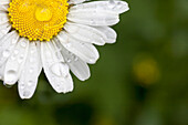 'A white daisy with water drops;Northumberland england'
