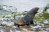 'Antarctic fur seal (arctocephalus gazella);Antarctica'