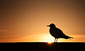 'Silhouette of a bird sitting on a fence at sunset;Northumberland england'