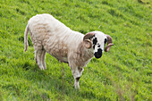 'Black faced sheep;Dingle peninsula county kerry ireland'